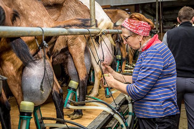 Témoignage agent d'élevage caprin