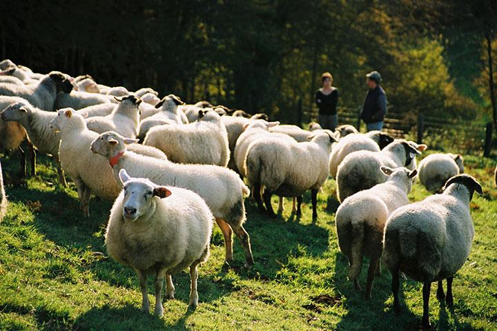 Métiers animaux d'élevage troupeaux