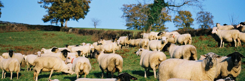 Métiers élevage ovin
