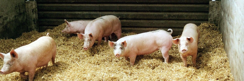 Métier élevage porcin