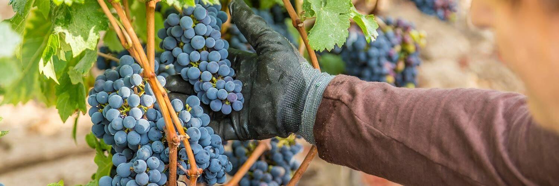 Métier Chef de culture viticole