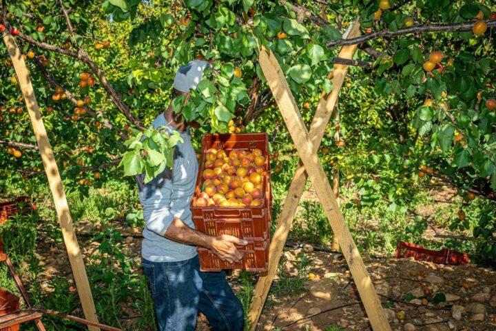 Cueillette des abricots en Occitanie