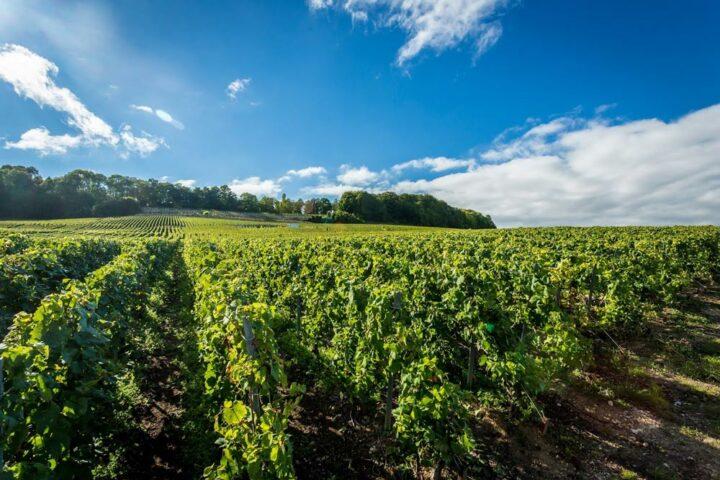 Vignes en Occitanie