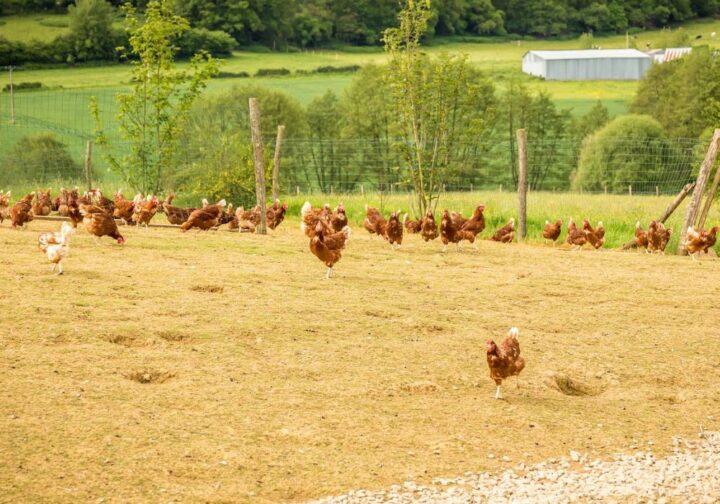 Aviculture en Sarthe