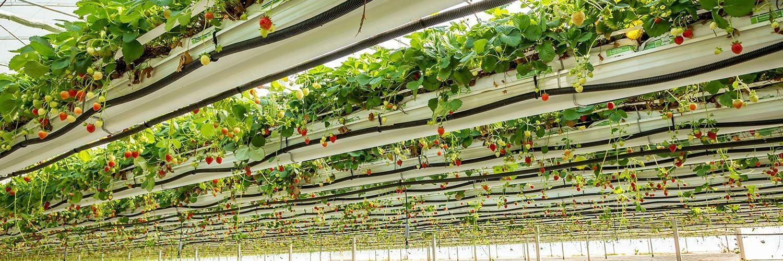 Bretagne maraîchage fraises