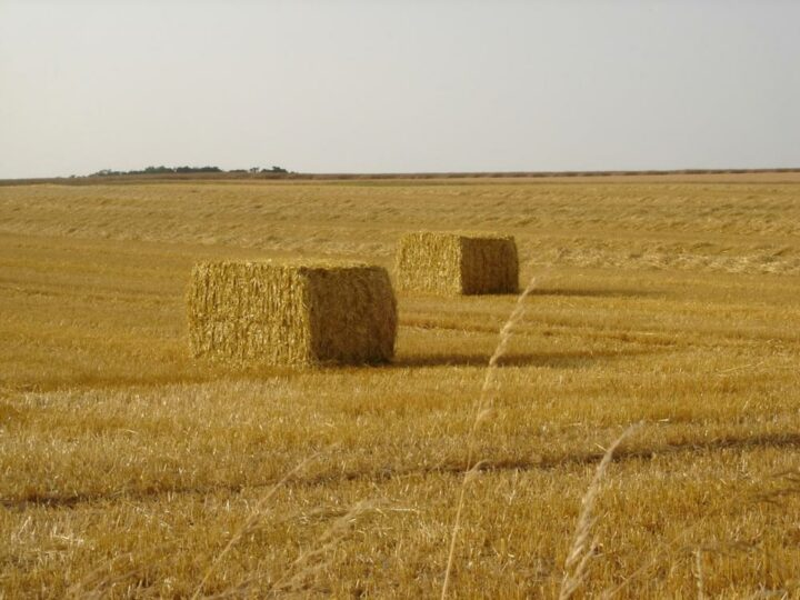 Champs de blé moissonné