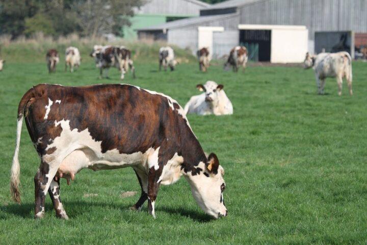 Elevage bovin laitier en Finistère