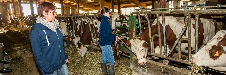 Ille et Vilaine élevage laitier