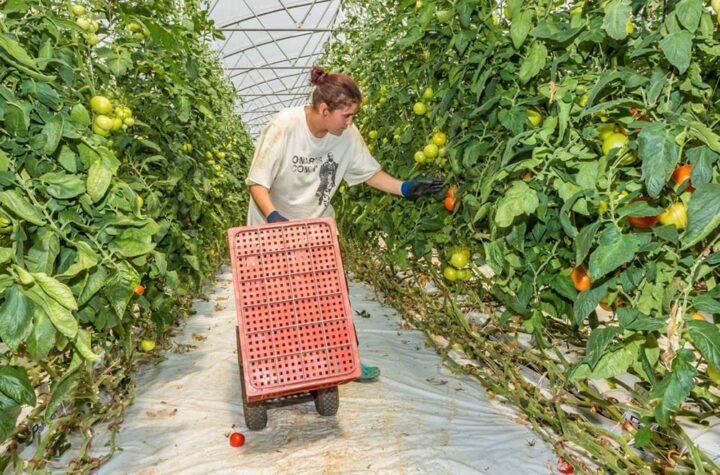 Cueillette des tomates