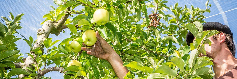 Tarn et Garonne Arboriculture pomme