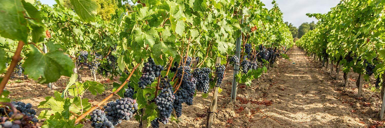Nouvelle aquitaine viticulture