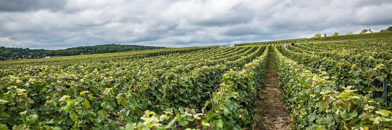 Charente viticulture
