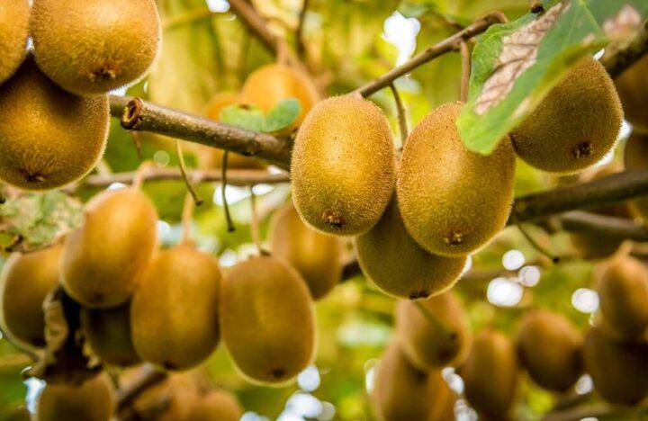 Landes Arboriculture kiwi