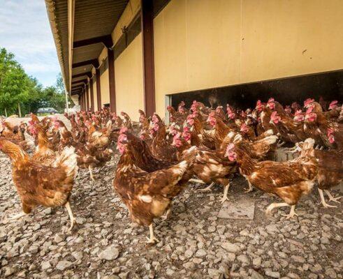 Landes Aviculture poulet