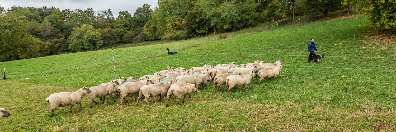 Pyrennées Atlantiques élevage ovin