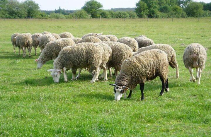 Limousin Elevage ovins
