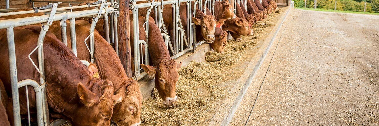 Limousin bovin viande