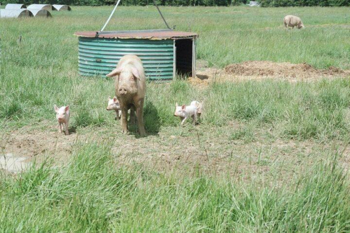Elevage porcin