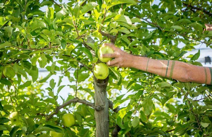 Normandie Arboriculture pomme