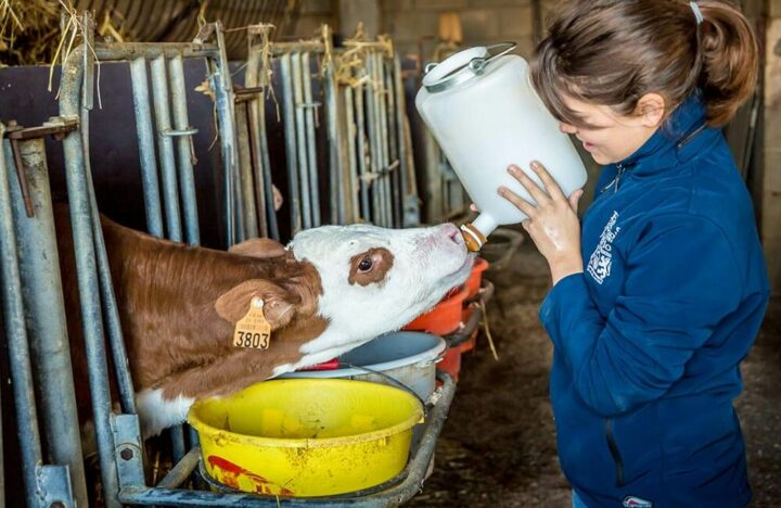 Normandie élevage vache laitière