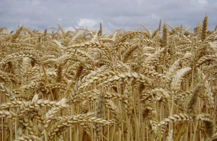 Normandie Grandes cultures blé